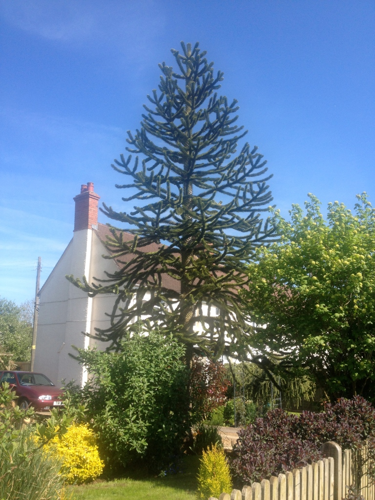 A fascinating specimen tree, the Monkey Puzzle.