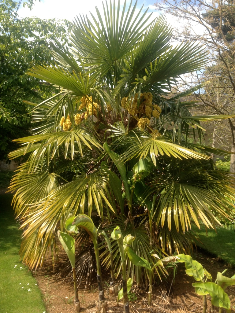 Trachycarpus fortunei (Chusan palm) out on display outside. Trachycarpus is mildly cold tolerant.