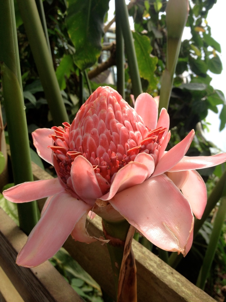 The flower Etlingera elaticer (torch ginger).