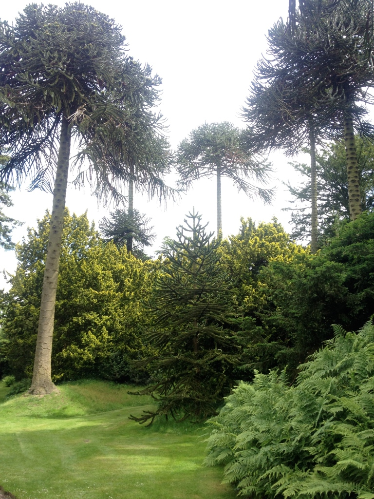 Mature Arucaria arucarna (Monkey Puzzle)  in the arboretum.