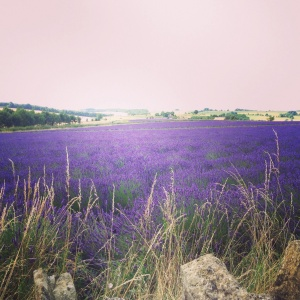 Snowshill Lavender fields located near Hidcote Gardens.