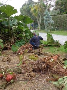 Next Job Cutting over Gunnera manicata which on the mainland needs winter protection no such troubles here.