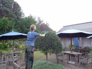 Dome shaped Olive trees, being expertly clipped by Rhiannon.   Another one that it would be too cold for in the UK grows freely here and even needs trimming twice a year!