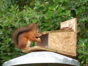 Not forgetting the very important task of feeding the resident red squirrels, introduced to the island around a year ago.  They seem to be feeding ok.