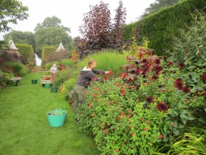 Deadheading Dahlias in the Red Borders with the help of a handful of Hidcote's many devoted garden volunteers.