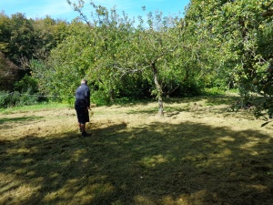Phil raking up the long grass beneath the apple trees in the Orchard.