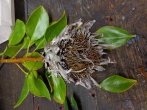 Protea cynaroides - proteaceae - King Protea - South Africa