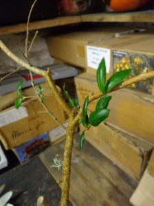 Luma apiculata - myrtaceae - Chilean myrtle - Chile