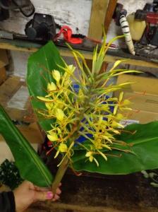 Hedychium gardnerianum - zingiberaceae - India