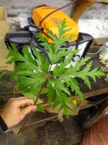 Geranium madarense - geranianeae - Madeira Geranium - Madeira