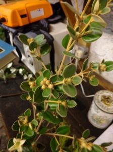 Correa virens - rutaceae - Australia