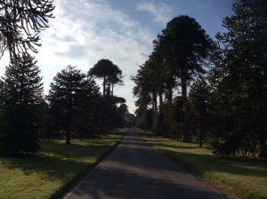 Just next door to Bicton Park Botanical Gardens is Bicton College where the famous Monkey Puzzle Avenue can be found. The monkey puzzle tree (Araucaria araucana) became immediately popular on its introduction from Chile in the 19th century. Bicton's Monkey Puzzle Avenue was planted by head gardener James Bames in 1844 under the direction of James Veitch of the Veitch Nursery - at 500m long and with a total of 50 trees, the avenue is the longest of its type in Europe.