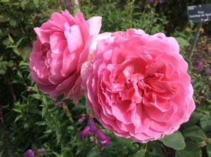 Rosa 'Assemblage des Beautes' in the Shrub Rose Garden