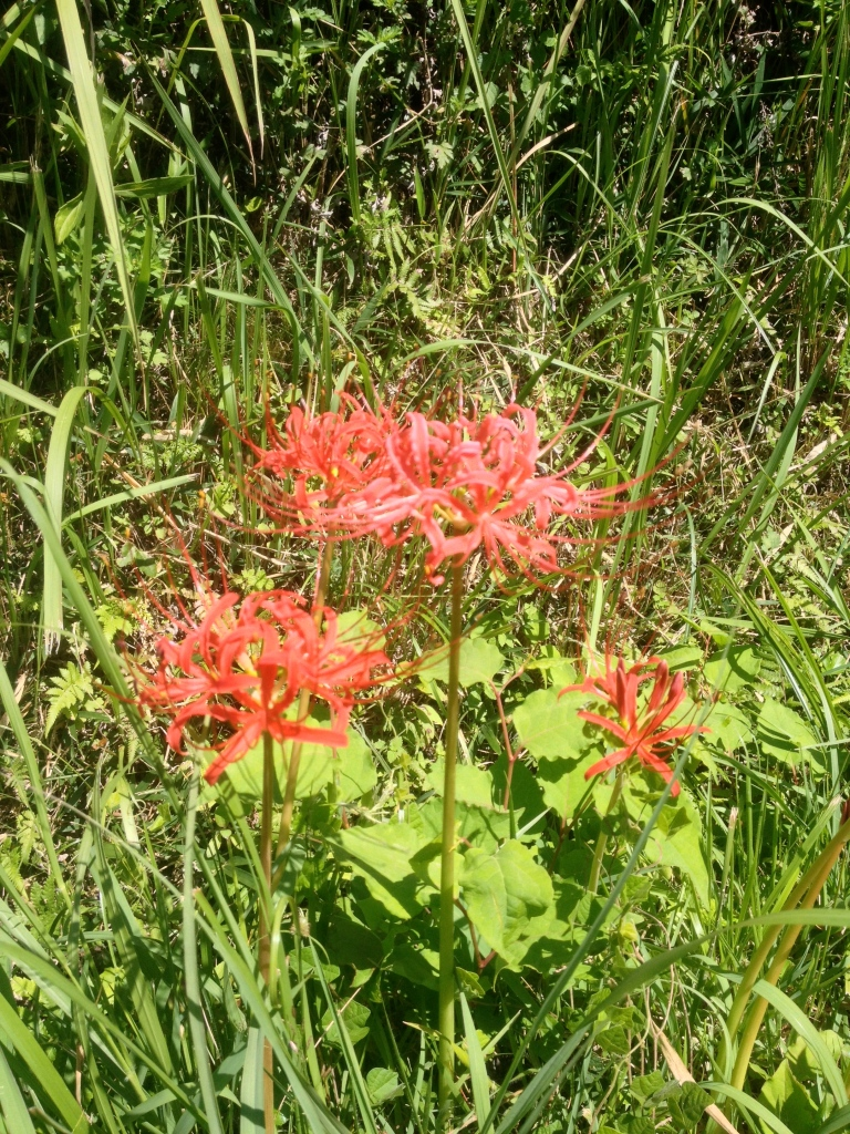 Lycoris radiata is a wildflower in Japan.