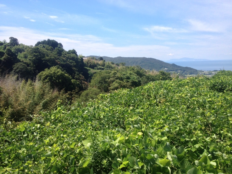 Kudzu also runs rampant in Japan, though it is a native species.