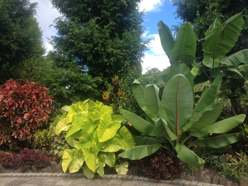 Acalypha wilkesiana, Xanthosoma sagittifolium 'Chartreuse Giant' and Musa sp.