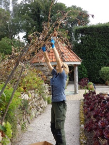 Here I am stripping the seed pods from a Beschorneria yuccoides