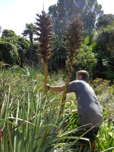 Phil and I got to help with the collection of seeds from a few plants. Here's Phil removing the seedheads from a Puya species.