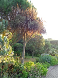 Cordylines may be architectural evergreen plants, but they shed a lot of leaves at this time of year...