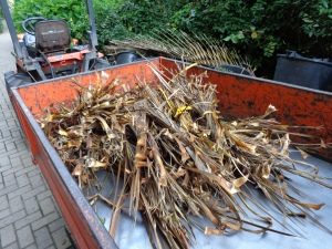 ...so one of our bi-weekly tasks was to do a 'Cordyline sweep' to collect fallen leaves.