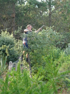 Phil gets stuck in on some regenerative pruning. And yes, we did risk assess this first...