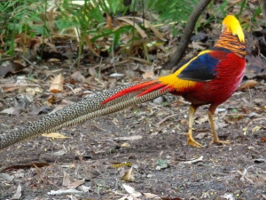 These golden pheasants were a particular favourite of mine.