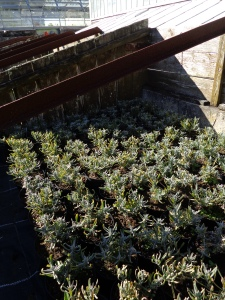 A plant that Phil and I are a little more familiar with - Lavandula 'Hidcote' in the cold frames at Tresco