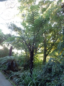 The black tree fern, Cyathea medullaris in the gardens of Tresco
