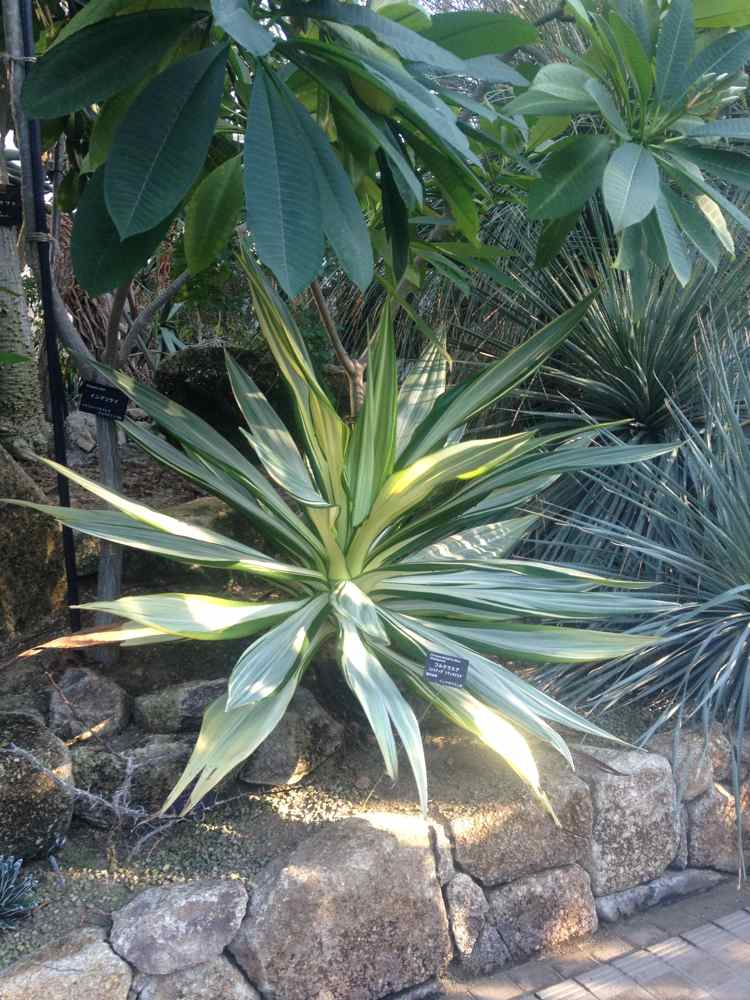 One of my favorite plants! Furcraea foetida var. Mediopicta! A perfect geometrical sphere!