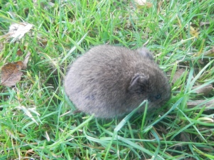 This little vole was seen running almost right over our feet while in one area of the garden