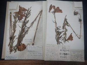 We also spent quite and interesting afternoon looking through just a couple of the 3 million herbarium speciems they have at the garden.  This one in particular was collected by George Forest.