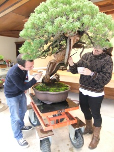 Here, we are working on the jin of bonsai. Jin refers to the whitened, dead parts of the bonsai. We used a mixture of amber and sulfur to enhance the white of the bark.