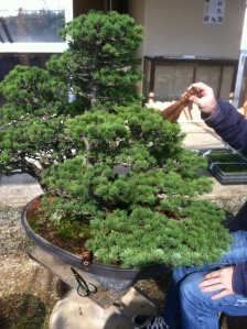 Before working on your bonsai, you must brush the needles to rid of any debris.