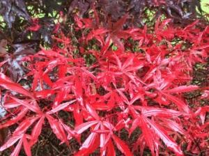 Acer palmatum 'English Town'
