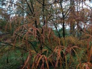 Acer palmatum 'Shrime-no-uchi'