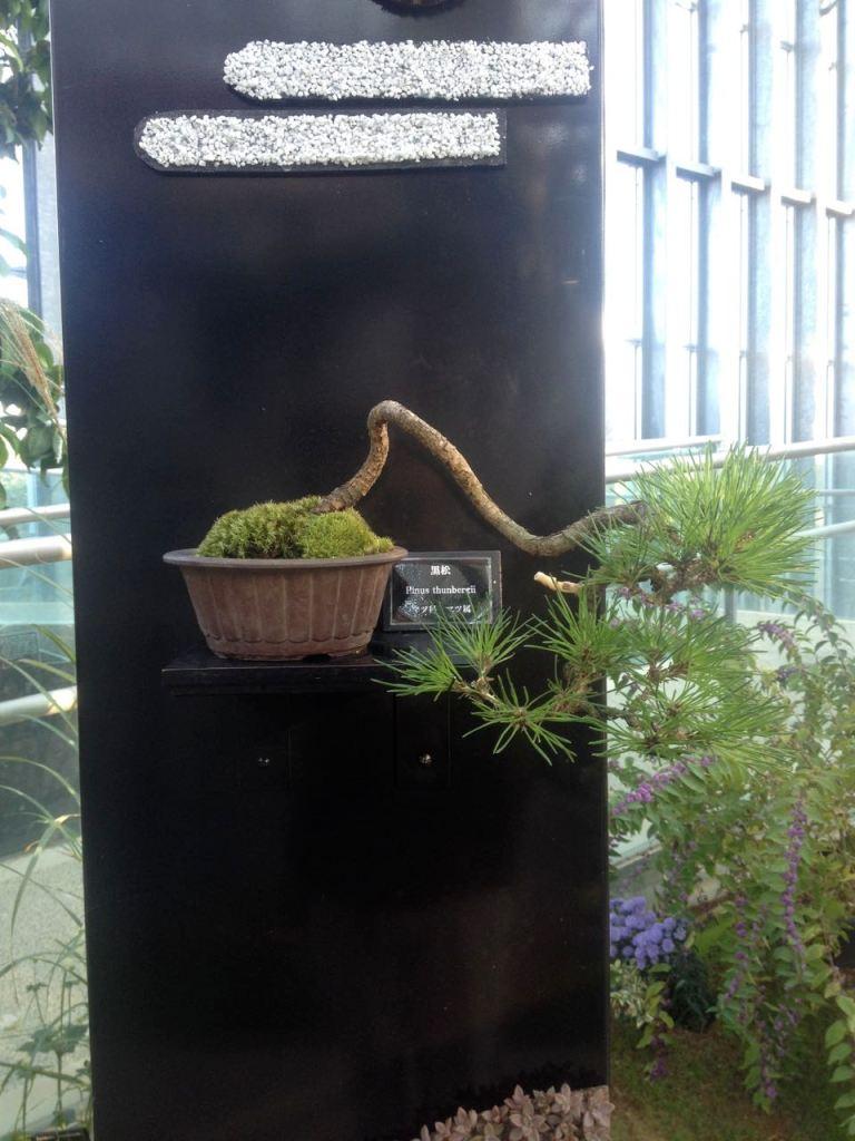 A modern bonsai display at Kiseki no Hoshi.