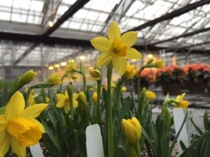 Narcissus 'Tete-a-tete'.