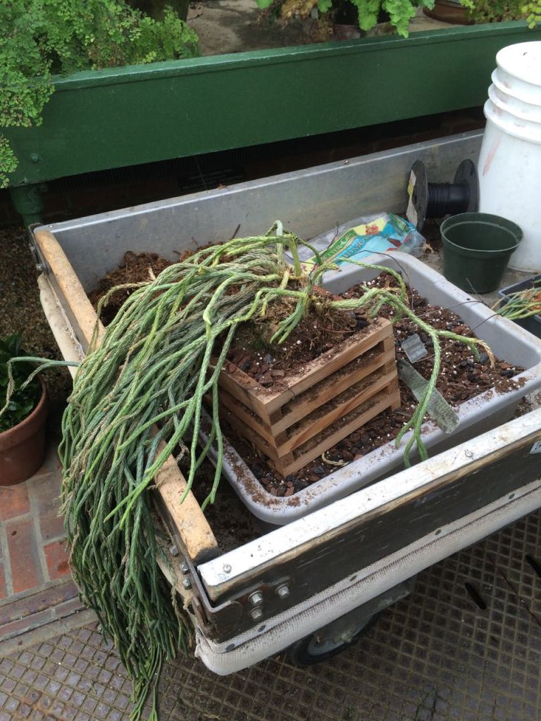 One the repotted Lycopodium plants in its new container. The previous box was rotted out. The growing media is a mix bark, charcoal, and all purpose soil with sphagnum moss placed around the lining of the crate to prevent soil from flowing out of the gaps when watered.