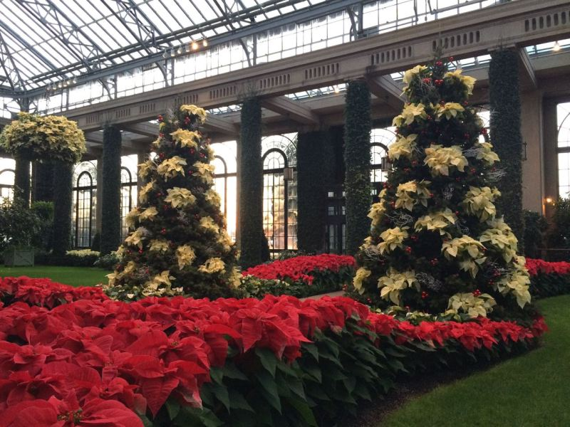 "Perfectly tiered poinsettias along with a poinsettia ""tree""!"