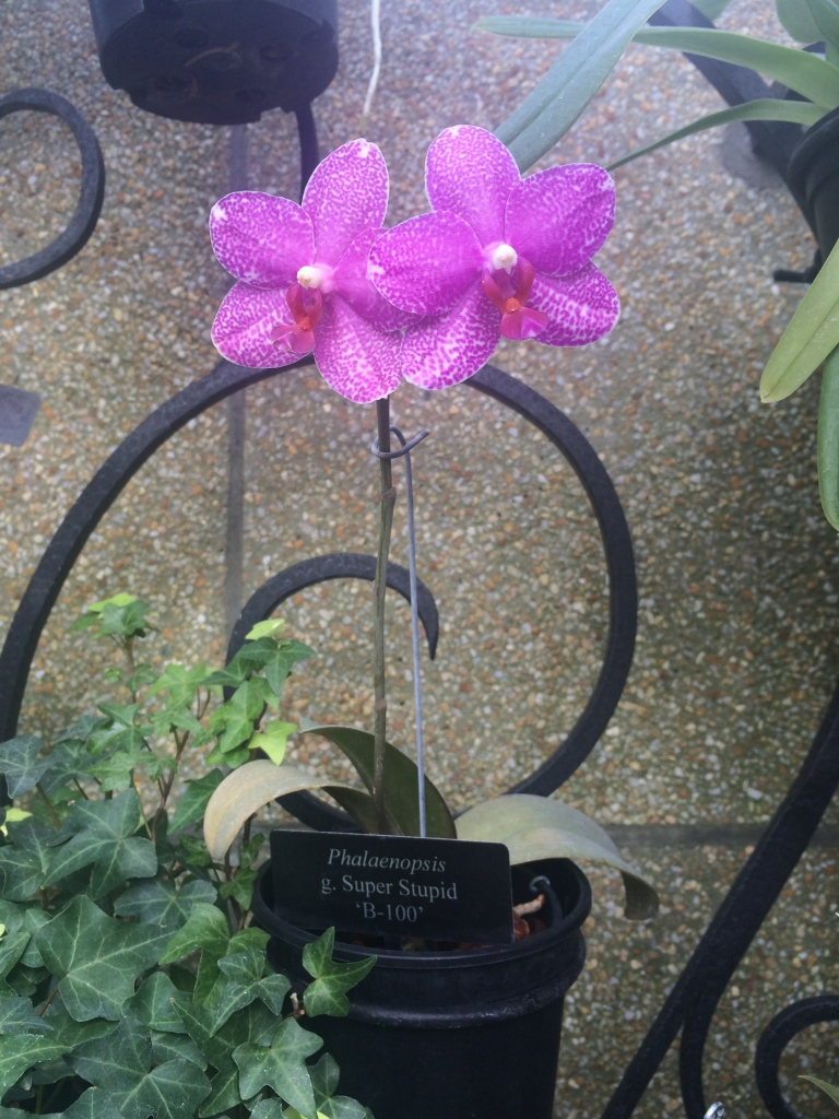 I want to believe that whoever named the grex of this Phalaenopsis was doing so in commentary to people who do not follow the correct standards for the International Code of Nomenclature of Cultivated Plants, as the cultivar name is nonsensical.