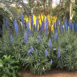 Echium candicans 'Select Blue' in the East Conservatory