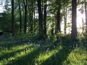 Bluebells in the beech woods.