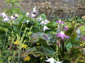 Colorful Erythroniums in the Old Garden