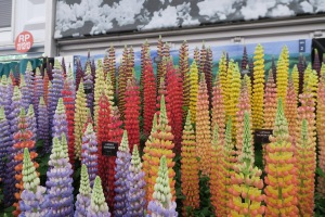 Amazing Lupines at the Chelsea Flower Show