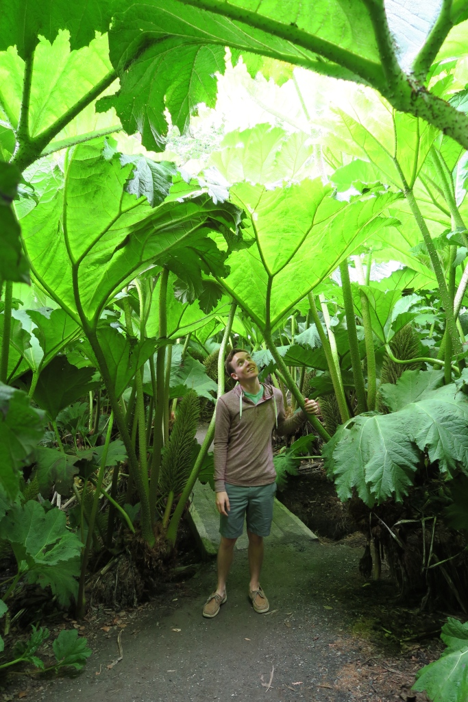 Admiring the Gunnera that were well over my head from the passage through them