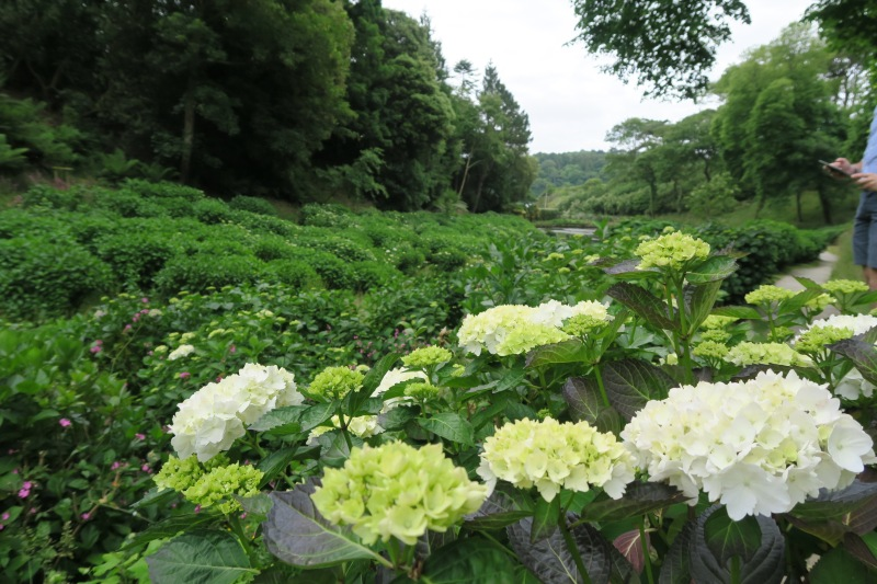 Valley of hydrangeas that was sure to be incredible in full bloom,