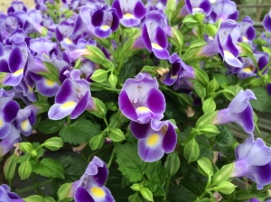Torenia 'Dancat911' [Catalina® Midnight Blue] (the wishbone-flower)
