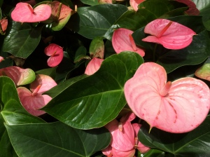 This pretty pink Anthurium 'Pandola'