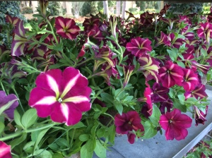 The delightful Petunia x hybrida 'Cha-Ching Cherry'