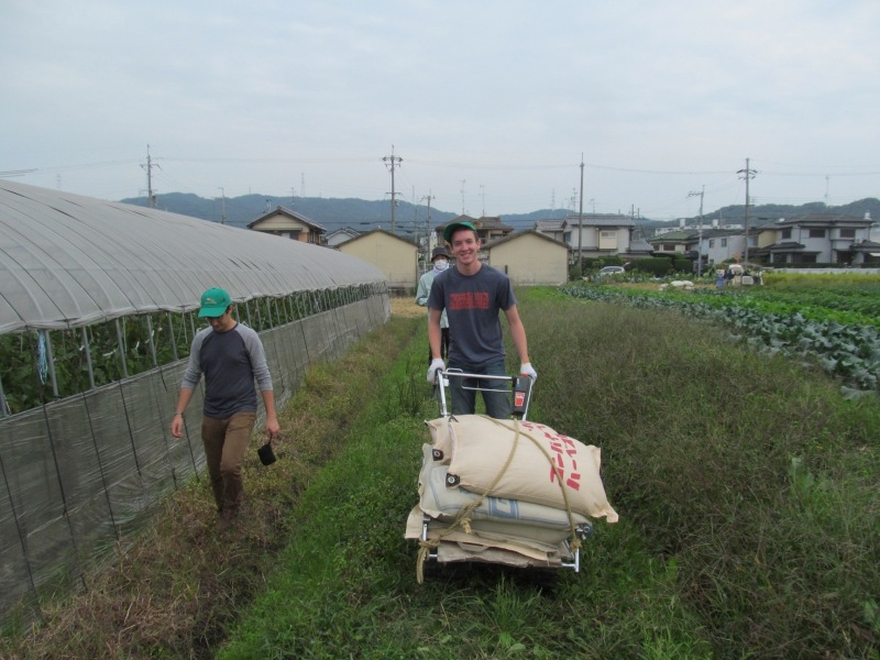 Transporting some of the harvested rice to the drying area!